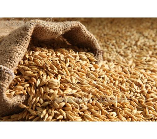 Vushka (Barley)